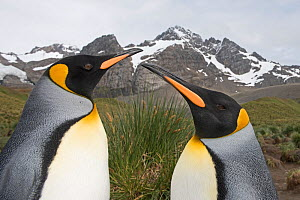 RF - Head portrait of two King penguins (Aptenodytes patagonicus). Gold Harbour, South Georgia. January 2015. (This image may be licensed either as rights managed or royalty free.)  -  David Tipling