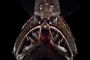Common fangtooth (Anoplogaster cornuta) deep sea species from Atlantic Ocean close to Cape Verde. Captive.  -  Solvin Zankl