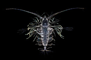 Deep sea copepod, from Atlantic Ocean off Cape Verde. Captive.  -  Solvin Zankl