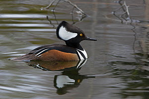 Hooded Merganser (Lophodytes cucullatus). Male in breeding plumage. Acadia National Park, Maine, USA. - George  Sanker