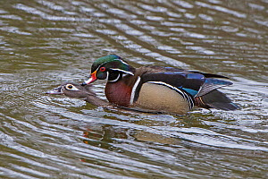 Wood duck (Aix sponsa) pair mating, Acadia National Park, Maine, USA. March. - George  Sanker