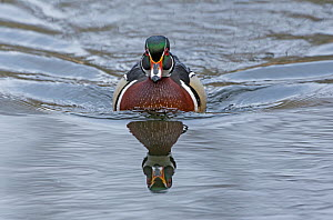 Wood duck (Aix sponsa)  male in breeding plumage. Acadia National Park, Maine, USA. March. - George  Sanker