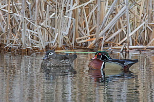 Wood duck (Aix sponsa) male female pair. Acadia National Park, Maine, USA. March. - George  Sanker