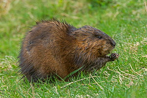 Muskrat (Ondatra zibethicus) grazing, Acadia National Park, Maine, USA. May. - George  Sanker