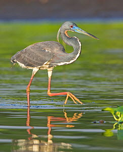 Tricolored heron (Egretta tricolor) walking in water, Everglades National Park, Florida, USA. March.  -  George  Sanker