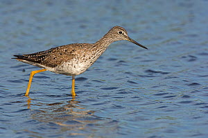 Greater yellowlegs (Tringa melanoleuca) wading in water, Myakka River State Park, Florida, USA. March. - George  Sanker