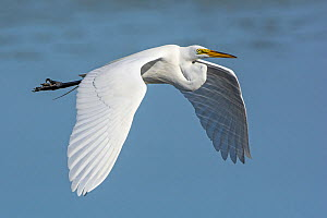 Great egret (Ardea alba) flying, Myakka River State Park, Florida, USA. March. - George  Sanker