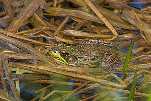 Green frog (Lithobates clamitans). Acadia National Park, Maine, USA. May.  -  George  Sanker
