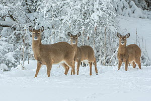 White-tailed deer (Odocoileus virginianus) in snow, Acadia National Park, Maine, USA. February. - George  Sanker