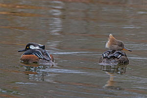 Hooded merganser (Lophodytes cucullatus). male female pair, Acadia National Park, Maine, USA. March. - George  Sanker