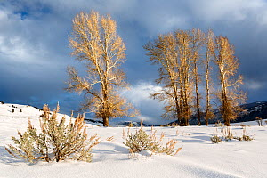 Winter with Cottonwood trees (Populus deltoides)  Lamar Valley, Yellowstone National Park, Wyoming, USA. Januray 2016. - Kirkendall-Spring