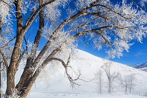 Frosted Cottonwood trees (Populus deltoides) at Buffalo Ranch, Lamar Valley, Yellowstone National Park, Wyoming, USA. February 2016.  -  Kirkendall-Spring