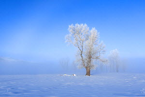 Cottonwood trees (Populus deltoides)  Lamar Valley, Yellowstone National Park, Wyoming, USA. February 2016.  -  Kirkendall-Spring