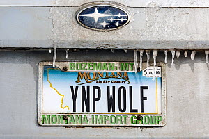 Vehicle license plate, YNP WOLF,  of a wolf watcher in Yellowstone National Park, Wyoming, USA.  -  Kirkendall-Spring
