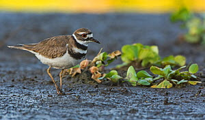 Killdeer (Charadrius vociferus). Myakka River State Park, Florida, USA, March. - George  Sanker