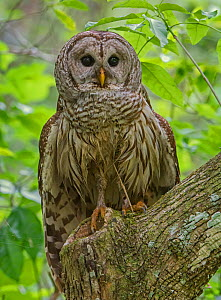 Barred Owl (Strix varia) perched, Corkscrew Swamp Audubon Sanctuary, Florida, USA, March. - George  Sanker