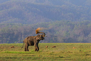 Asiatic elephant (Elephas maximus), male  taking dust bath. Jim Corbett National Park, India.  2014  -  Yashpal Rathore