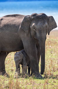 Asiatic elephant (Elephas maximus),  calf standing under mother to protect again day heat. Jim Corbett National Park, India.  -  Yashpal Rathore