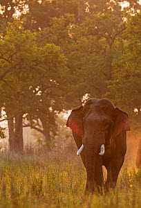 Asiatic elephant (Elephas maximus) male in musth at dawn . Jim Corbett National Park, India.  -  Yashpal Rathore