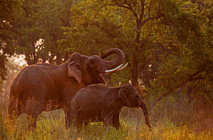 Asiatic elephant (Elephas maximus), mother and calf at dawn, Jim Corbett National Park, India.  2014  -  Yashpal Rathore
