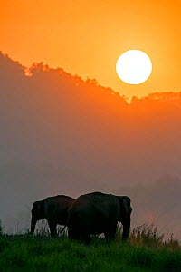 Asiatic elephant (Elephas maximus) silhouette of herd grazing at sunset. Jim Corbett National Park, India.  2014 - Yashpal Rathore