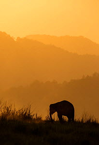 Asiatic elephant (Elephas maximus) silhouette of calf grazing at sunset. Jim Corbett National Park, India.  2014  -  Yashpal Rathore