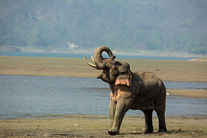 Asiatic elephant (Elephas maximus), male in musth sniffing air, looking for female in oestrous. Jim Corbett National Park, India.  -  Yashpal Rathore