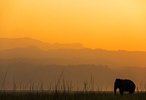 Asiatic elephant (Elephas maximus) silhouette of male at dawn. Jim Corbett National Park, India.  -  Yashpal Rathore