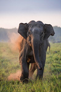 Asiatic elephant (Elephas maximus), female charging, Jim Corbett National Park, India.  2014 - Yashpal Rathore