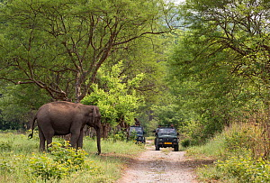 Asiatic elephant (Elephas maximus) about to cross track with tourist vehicle on the road,    Jim Corbett National Park, India. - Yashpal Rathore