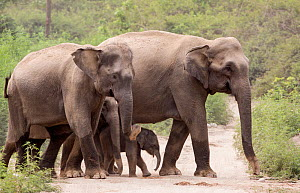 Asiatic elephant (Elephas maximus), herd with few days old calf crossing forest path.  Jim Corbett National Park, India.  -  Yashpal Rathore