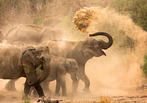 Asiatic elephants (Elephas maximus), dust bathing at dawn. Jim Corbett National Park, India.  -  Yashpal Rathore