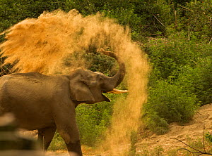 Asiatic elephant (Elephas maximus), young male taking dust bath at dawn. Jim Corbett National Park, India.  -  Yashpal Rathore