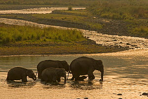 Asiatic elephant (Elephas maximus), herd drinking water and crossing Mountain River at dawn, Jim Corbett National Park, India. - Yashpal Rathore