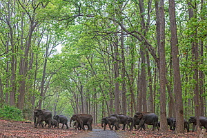 Asiatic elephant (Elephas maximus), herd passing through Sal tree forest. Jim Corbett National Park, India. - Yashpal Rathore