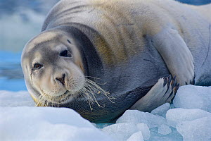 Bearded seal (Erignathus barbatus) hauled out on ice floe, Svalbard, Norway. July. - Andrew Murray