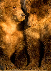 Coastal brown bear cubs (Ursus arctos) resting, Lake Clarke National Park, Alaska, September - Danny Green