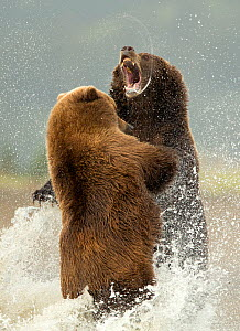 Coastal brown bears (Ursus arctos) fighting, Lake Clarke National Park, Alaska, September - Danny Green