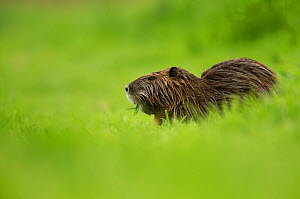 Coypu (Myocastor coypus), Northern Israel, January. Introduced species. - Danny Green