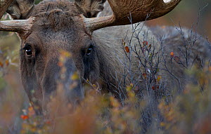Caribou / Reindeer bull (Rangifer tarandus) close-up grazing, Denali National Park, Alaska, USA, September - Danny Green