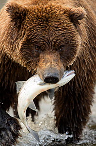 Coastal brown bear (Ursus arctos) eating a fish, Lake Clarke National Park, Alaska, September  -  Danny Green