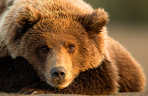 Coastal brown bear (Ursus arctos) resting, Lake Clarke National Park, Alaska, September - Danny Green