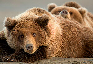 Coastal brown bears (Ursus arctos) resting, Lake Clarke National Park, Alaska, September - Danny Green
