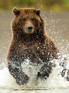 Coastal brown bear (Ursus arctos) fishing, Lake Clarke National Park, Alaska, September - Danny Green