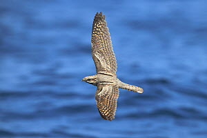 European nightjar (Caprimulgus europaeus) in flight over the sea, during migration, Oman, September - Hanne & Jens Eriksen
