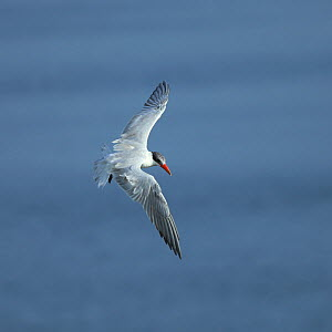Caspian tern (Hydroprogne caspia) in flight looking for food, Oman, August  -  Hanne & Jens Eriksen