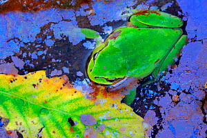 Tree frog (Hyla meridionalis) in water with  Bacteria (Leptothryx discophora) causing iridescent sheen on water surface, and Portuguese oak leaf (Quercus faginea). Sierra de Grazalema Natural Park, so...  -  Andres M. Dominguez