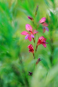 Field gladiolus (Gladiolus italicus) flower, Sierra de Grazalema Natural Park, southern Spain, May.  -  Andres M. Dominguez
