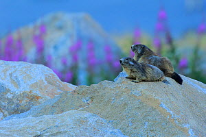 Alpine marmot (Marmota marmota) two on a rock, Andorra, July.  -  Andres M. Dominguez