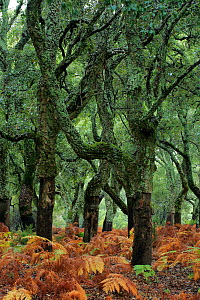 Cork oak trees (Quercus suber) with bark removed, Alcornocales NP, Cadiz, Andalucia, Spain, October 2015  -  Andres M. Dominguez